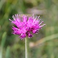 Pacific onion flower (Allium validum).- Glacier Pass, Sawtooth Pass + Big Five Lakes Hiking Loop