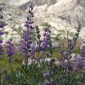 Sierra Lupine (Lupinus grayi).- Glacier Pass, Sawtooth Pass + Big Five Lakes Hiking Loop