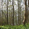 Sutro Forest consists almost entirely of blue gum eucalyptus (Eucalyptus globulus).- Sutro Forest + Mount Sutro Open Space Reserve