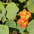 Trail-side nasturtium (Tropaeolum majus).- Lands End Coastal Trail