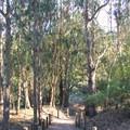 Blue gum eucalyptus (Eucalyptus globulus).- Lands End Coastal Trail