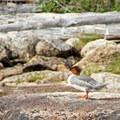 Common merganser (Mergus merganser).- Redfish Lake