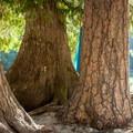 Western redcedar (Thuja plicata) and a ponderosa (Pinus ponderosa) help dry some soggy duds.- Selway River