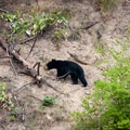 A black bear cub (Ursus americanus) moves slowly in the summer heat across the opposing bank.- Selway River