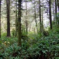 The second-growth forest that surrounds the Siltcoos Lake Trail.- Siltcoos Lake Trail