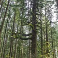 One of a handful of old-growth trees left in the intensively managed Whypass area.- Carpenter Bypass Trail System, Whypass Trail