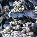Mussels (Mytilus edulis) and barnacles (Balanus glandula) at Baker Beach.- Baker Beach