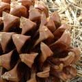 A cone from the gray pine (Pinus sabiniana).- Darrington (Salmon Falls) Trail