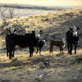 Cattle are allowed to range in the area.- Darrington (Salmon Falls) Trail