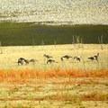 Canada geese (Branta canadensis).- Darrington (Salmon Falls) Trail