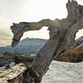 A peek through a mangled tree limb at the volcano that caused its demise.- Mount Margaret via Norway Pass