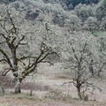 Ghostly oaks dominate the hillside in winter.- Mount Pisgah Hike