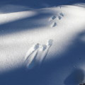The tracks of a snow hare (Lepus americanus).- Tumalo Mountain Snowshoe