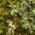 Moss and lichen en route.- Muir Woods via Deer Park Fire Road