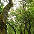 Forest canopy above the Deer Park Fire Rd.- Muir Woods via Deer Park Fire Road