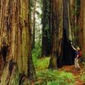 Giant redwoods along the Ben Johnson Trail.- Muir Woods via Deer Park Fire Road