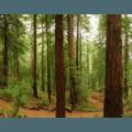 Muir Woods National Monument.- Muir Woods via Deer Park Fire Road