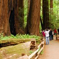 Crowd at the Cathedral Grove in Muir Woods National Monument.- Muir Woods National Monument