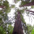 Redwoods (Sequoia sempervirens) in Muir Woods National Monument.- Muir Woods National Monument