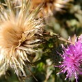 Milk thistle (Silybum marianum) is a common site in the Marin Headlands.- Marin Headlands + Golden Gate Recreation Area