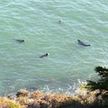 Seals at home in Bonita Cove.- Marin Headlands + Golden Gate Recreation Area