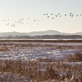 Large flocks of Canada geese are common in winter.- Fern Ridge Wildlife Area, Royal Amazon Unit
