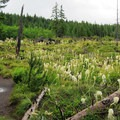 Field of bear grass just outside of Ape Caves.- Mount St. Helens National Volcanic Monument
