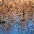 Mallard or wild duck (Anas platyrhynchos) at Oaks Bottom Wildlife Refuge.- Oaks Bottom Wildlife Refuge