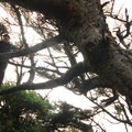 Heavily windblown sitka spruce at the trailhead leading down to the beach- Cape Cove Beach + Devils Churn