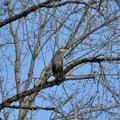 Great blue heron (Ardea herodias).- Scappoose Bay