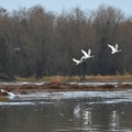 Canada geese (Branta canadensis) and swans (Cygnus).- Scappoose Bay