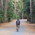 Riding among the Ponderosa pines in Yosemite Valley.- Yosemite Valley Bicycle Loop