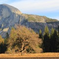 An American elm (Ulmus americana) standing proudly in Cook Meadow.- Yosemite Valley Bicycle Loop