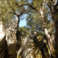 Interior live oaks along the Mirror Lake - Tenaya Canyon Loop Trail.- Mirror Lake Loop