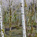 Crustose lichens on alder trees.- Upper Salmonberry River Trail