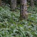 Sword fern (Polystichum munitum).- Upper Salmonberry River Trail