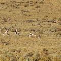 A heard of pronghorn antelope (Antilocapra americana) near Mann Lake.- Mann Lake Recreation Site