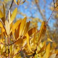 Unidentified willow species (help us identify it by providing feedback).- Pike Creek Mine Hike