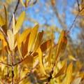 Unidentified willow species (help us identify it by providing feedback).- Pike Creek Mine Hike
