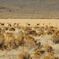 Pronghorn antelope (Antilocapra americana) near the Alvord Desert.- Alvord Desert