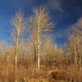 Quaking aspen grove at Fish Lake Campground.- Fish Lake Recreation Site Campground