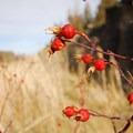 Sitka mountain ash (Sorbus sitchensis).- Donner und Blitzen River Trail Hike