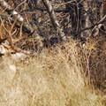 5-point black-tailed buck (Odocoileus hemionus columbianus).- Donner und Blitzen River Trail Hike