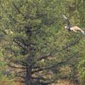 Bald eagle (Haliaeetus leucocephalus).- Lone Pine Recreation Site