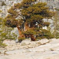 Olmsted Point: Old-growth western juniper (Juniperus occidentalis).- Olmsted Point
