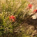 Indian paintbrush (Castilleja).- The Honeycombs