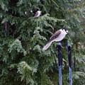 Gray jay (Perisoreus canadensis).- Bechtel Shelter