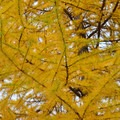 Western larch (Larix occidentalis) in the fall.- Green Ridge Lookout