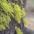 Wolf lichen (Letharia vulpina).- Green Ridge Lookout