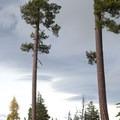 Ponderosa pine (Pinus ponderosa).- Green Ridge Lookout